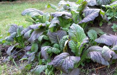 breitblaettriger senf Brassica juncea var. rugosa